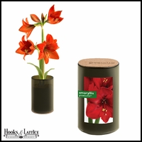 Amaryllis Grow Bottle Demi