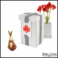 Amaryllis Red Bulbs in Recycled Steel Gift Box