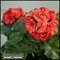 Artificial Geraniums - Outdoor Rated