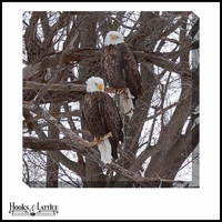 Bald Eagles, Companions - Canvas Artwork