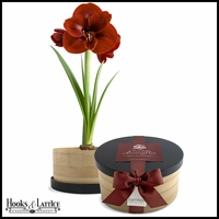 Chocolate Amaryllis Bamboo Grow Container