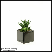 7in. Echeveria and Aloe in Square Ceramic Planter
