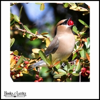 Feeding Waxwing Bird - Canvas Artwork