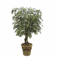 Fire Retardant Ficus Trees