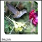 Hummingbird Feeding on Flowers - Canvas Artwork