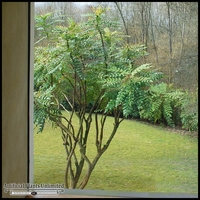 Inherently Fire Retardant Rated Mahonia Tree