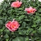 Azalea Outdoor Artificial Living Wall 96in.L x 60in.H