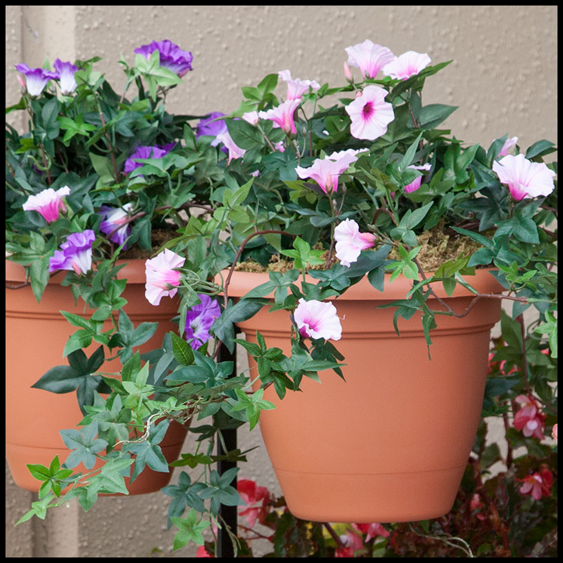 26in. morning glory vine, indoor rated - pink