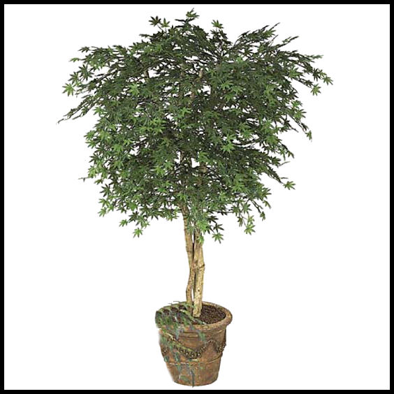6\' Japanese Maple Tree, Outdoor Rated