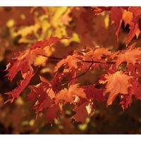 Outdoor Tree - Canadian Sugar Maple