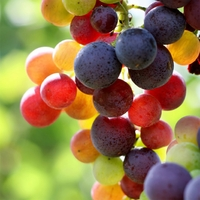 Outdoor Tree - Vineyard Grapes