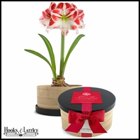 Peppermint Amaryllis Bamboo Grow Container