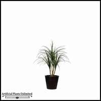 2' or 3' Potted Baby Ponytail Palm