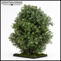 2' Premium Outdoor Boxwood Shrub