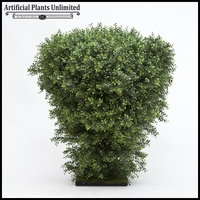 4' Premium Outdoor Boxwood Shrub