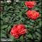12in. X 12in. Rhododendron Azalea Foliage Tile, Red, Indoor