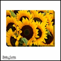 Yellow Sunflowers Closeup - Canvas Artwork