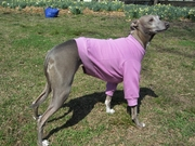 Italian Greyhound Rose Lightweight Shirt