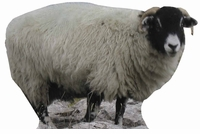 Sheep Cardboard Cutout Life Size Standup