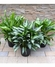 "10"" Assorted Aglaonema plants"