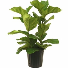 10inches Pandurata Bush Plants