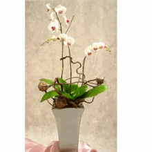 3 stems orchids