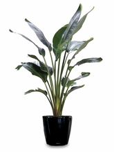 Bird of Paradise plants 10in pot