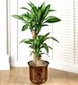 Cane Floor Plant over 4- 5 feet large
