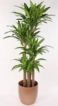 Dracaena fragrans 'Massangeana Cane' 5 ft