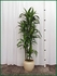Dracaena Lisa 6ft 10 in pot