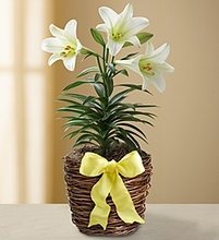 Easter Sentiments Lily Plant