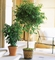 Ficus Tree Plants