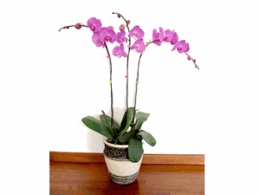 Large Phalaenopsis orchid plant in a ceramic vase 3 stems