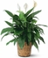Large Spathiphyllum Plants