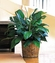 Medium Spathiphyllum Plant 8""