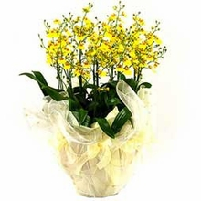 Oncidium orchids 7 Stems