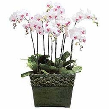 Royalty orchids arrangements Seven White Phalaenopsis