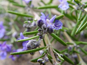 ~ 110207 Rosemary Helps Protects The Brain