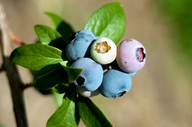 ~ Uncovering the Broad-Spectrum Protection of Anthocyanins
