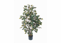 Ficus Silk Tree 4 ft