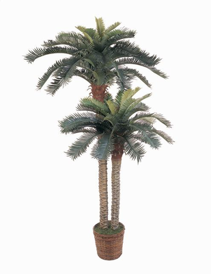 Sago Palm Tree Double Poted 6' & 4'