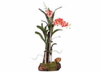 Wild Orchid w/Root Base