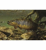 Brook Trout Image Entrance Mat