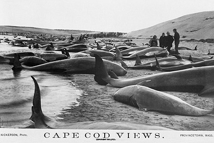 Beached Pilot Whales Cape Cod 1885 Photo Print