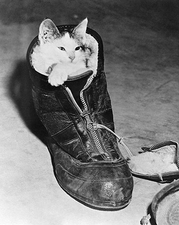 Kitten Snuggled in a Boot, 1940s Photo Print