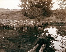 South Dakota Sheep Flock Old West 1891 Photo Print for Sale