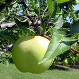 Albemarle Pippin Apple Tree (<i>Malus</i> cv.)