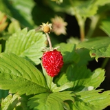 Alpine Strawberry (<i>Fragaria vesca</i>)
