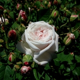 Baltimore Belle Rose (<i>Rosa cv.</i>)