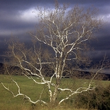 Bare Root American Sycamore (<i>Platanus occidentalis</i>)